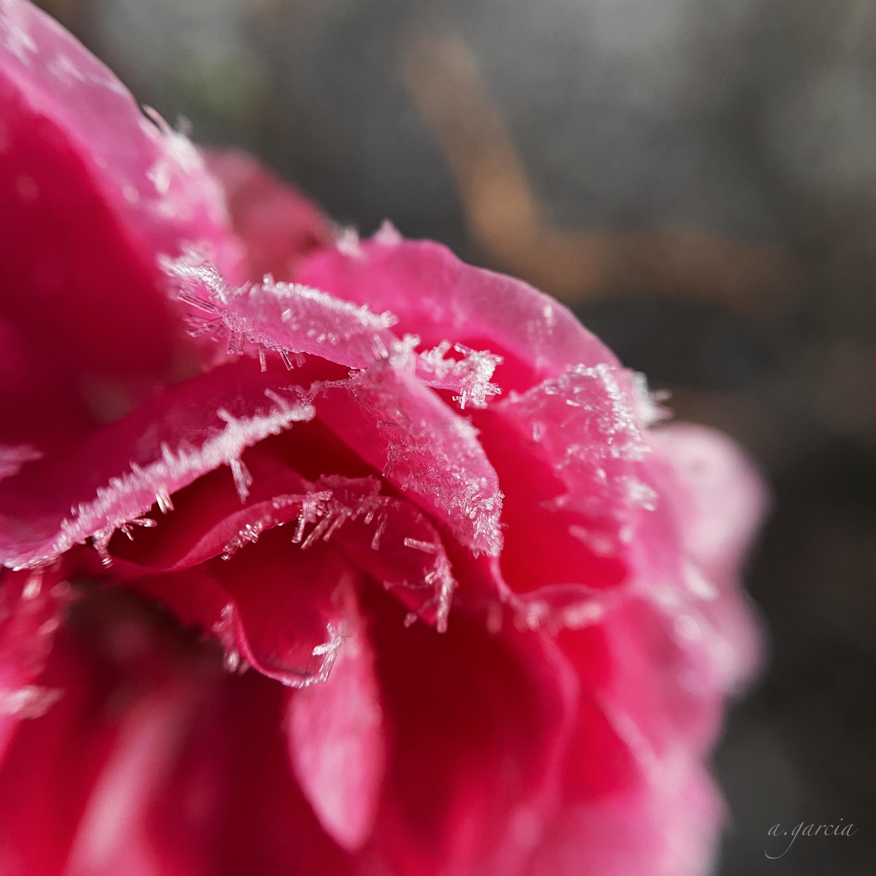 A frosty Little Mischief rose