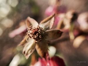 Spent Little Mischief rose
