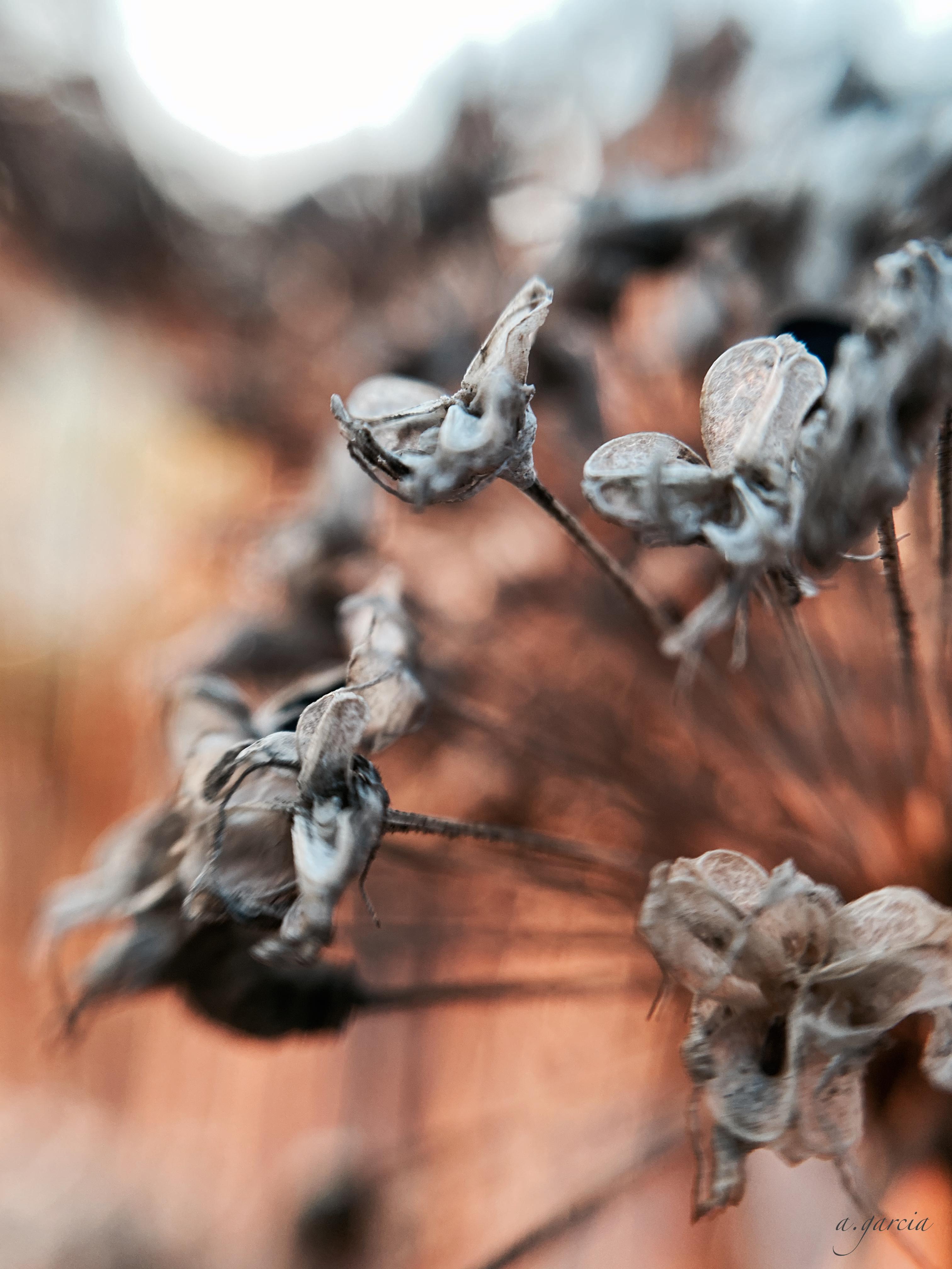 Spent petals of a garlic plant