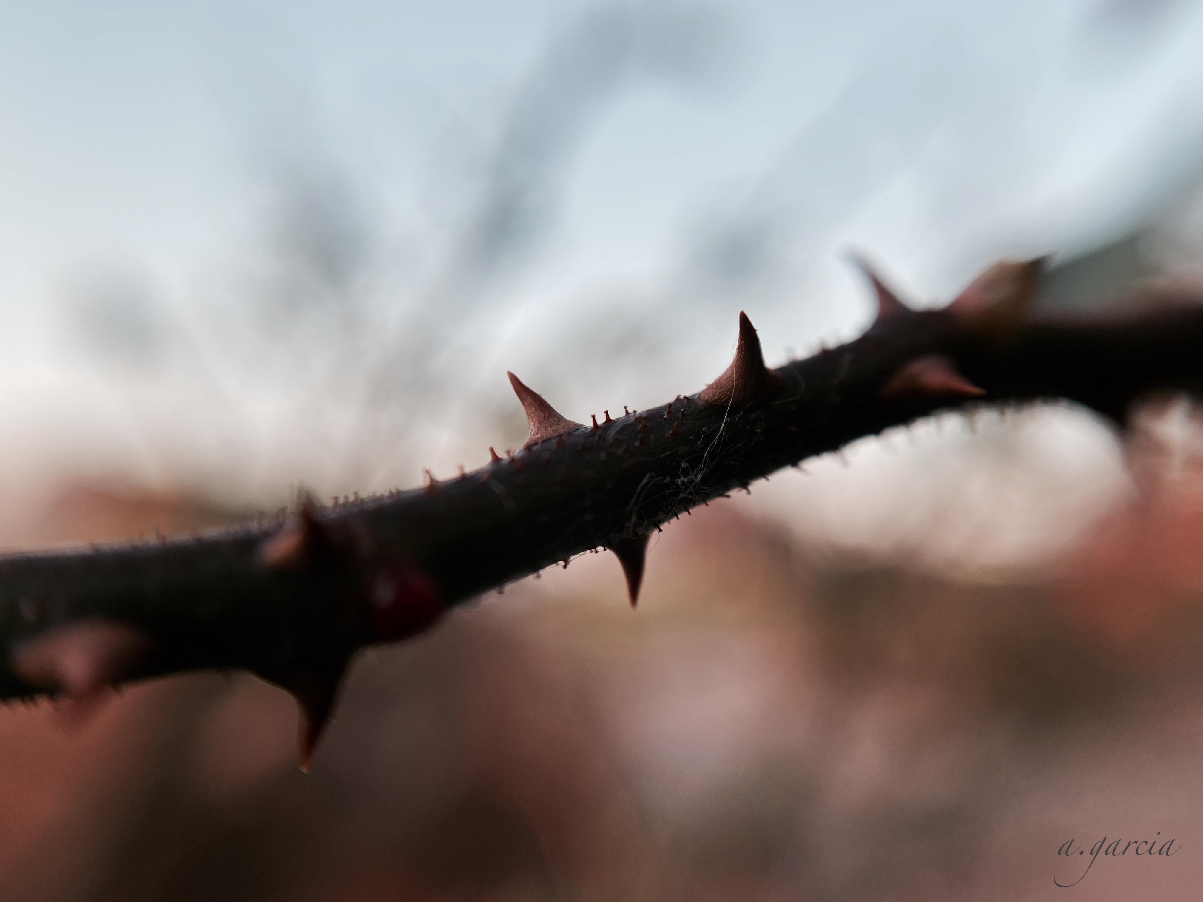 Little Mischief thorns