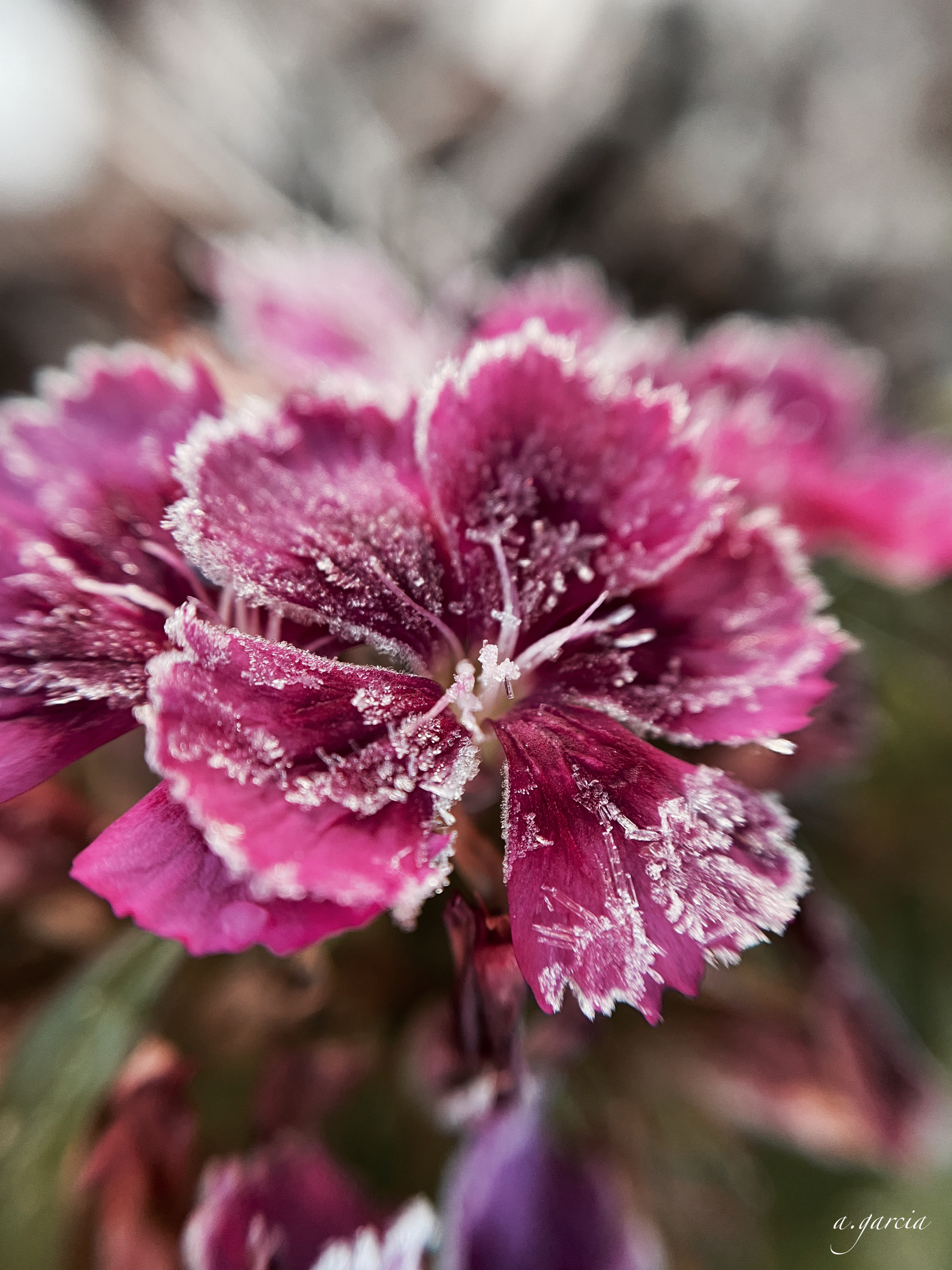 A frosty dianthus